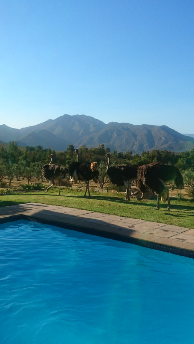 ostriches-pool-2