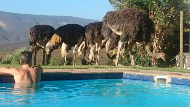 ostriches-pool