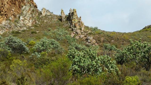 Trail Protea